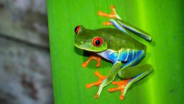 Red eyed treefrog on a leaf at night in Tortuguera National Park, Costa Rica