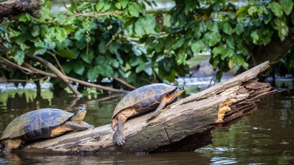 Turtles Sunbathing in Tortguero National Park, Costa Rica
