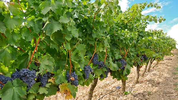 Bordeaux vineyard tour