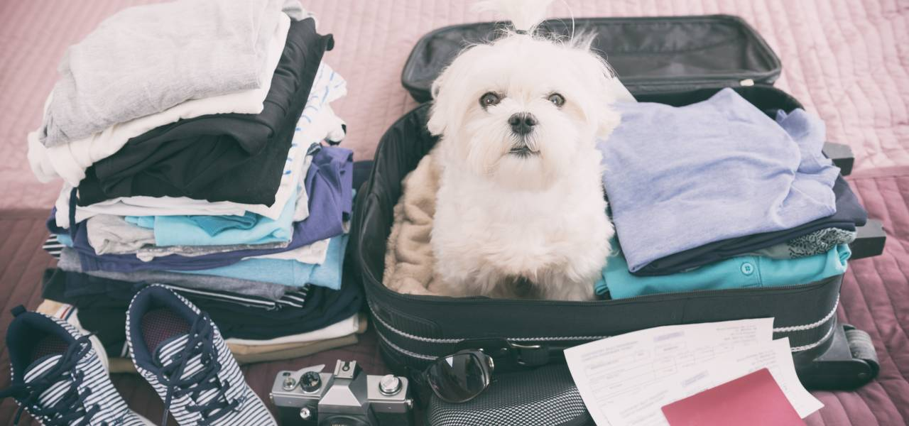 Small Maltese Poodle dog sitting inside packed suitcase ready to travel