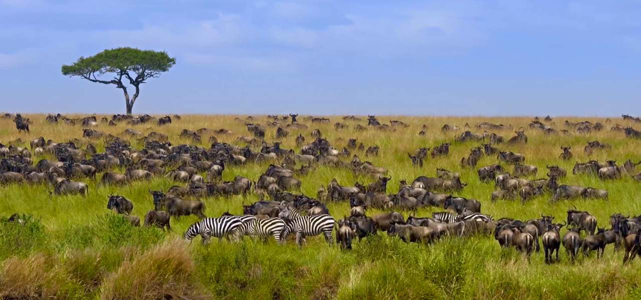 Herds of wildebeest and zebra grazing during the annual great migration