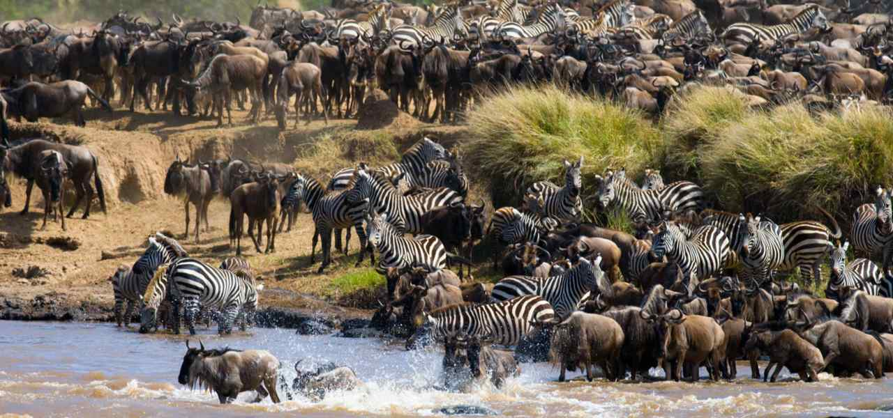 Herds of wildebeest and zebra near the water's edge during the annual great migration