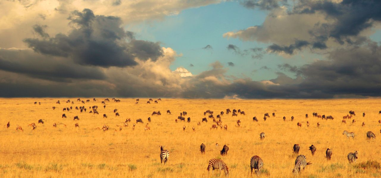 Herds of wildebeest and zebra on the plains of Tanzania for the great wildebeest migration