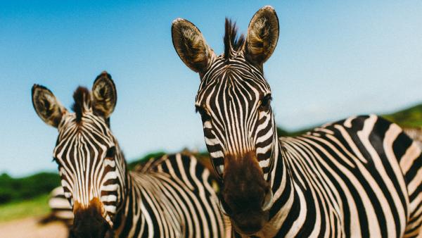 Zebra at Cuixmala.
