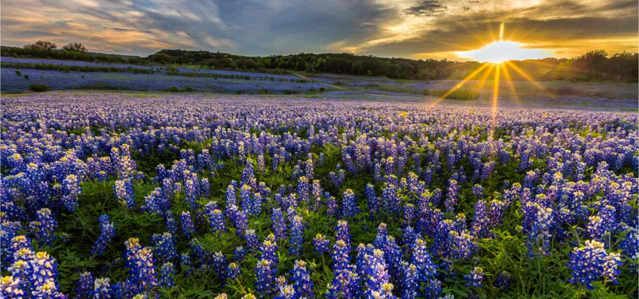 Texas bluebonnet field in sunset at Muleshoe Bend Recreation Area.