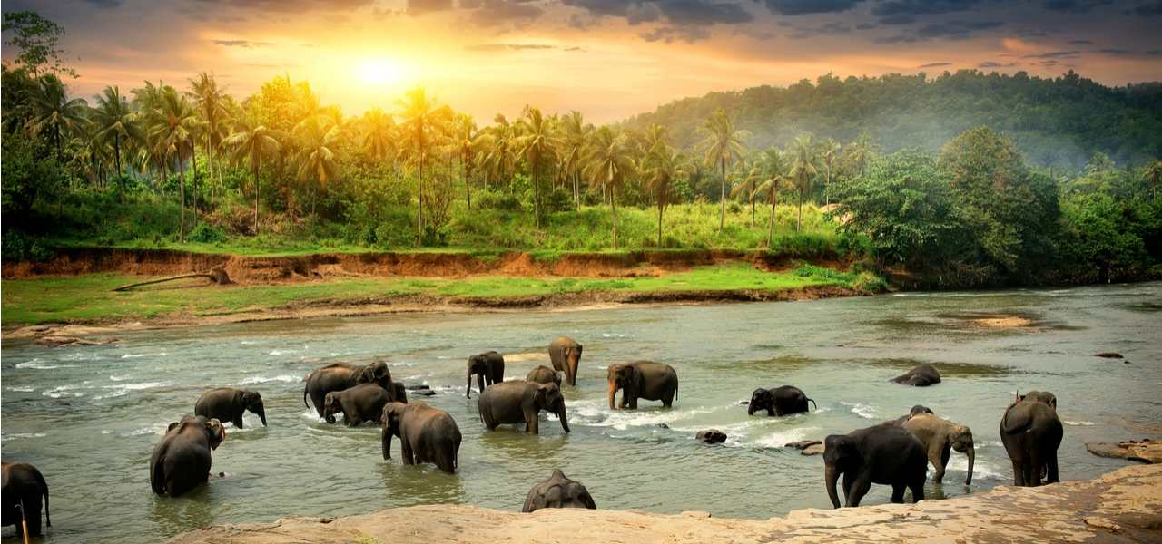 A herd of elephants enjoying a bath in a Sri Lankan river, with palm trees lining the bank
