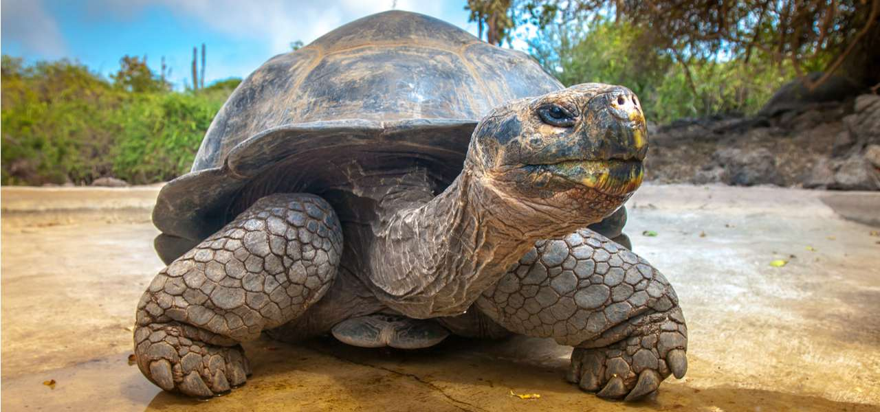A giant turtle on the Galapagos Islands