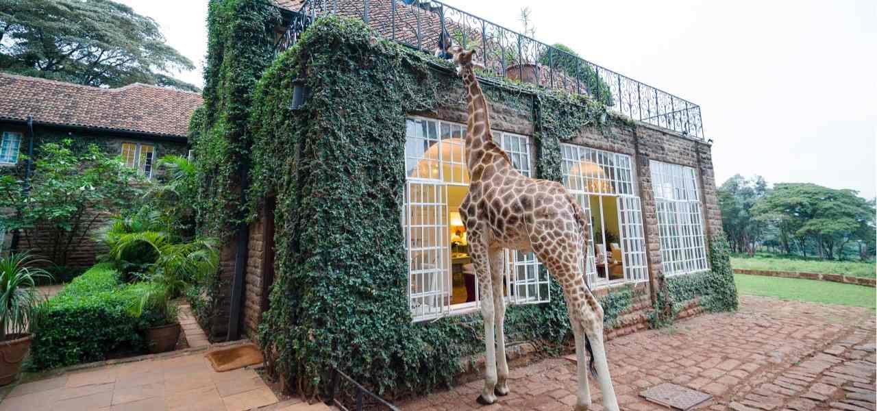 A giraffe enjoys a meal from a guest at Kenya's Giraffe Manor