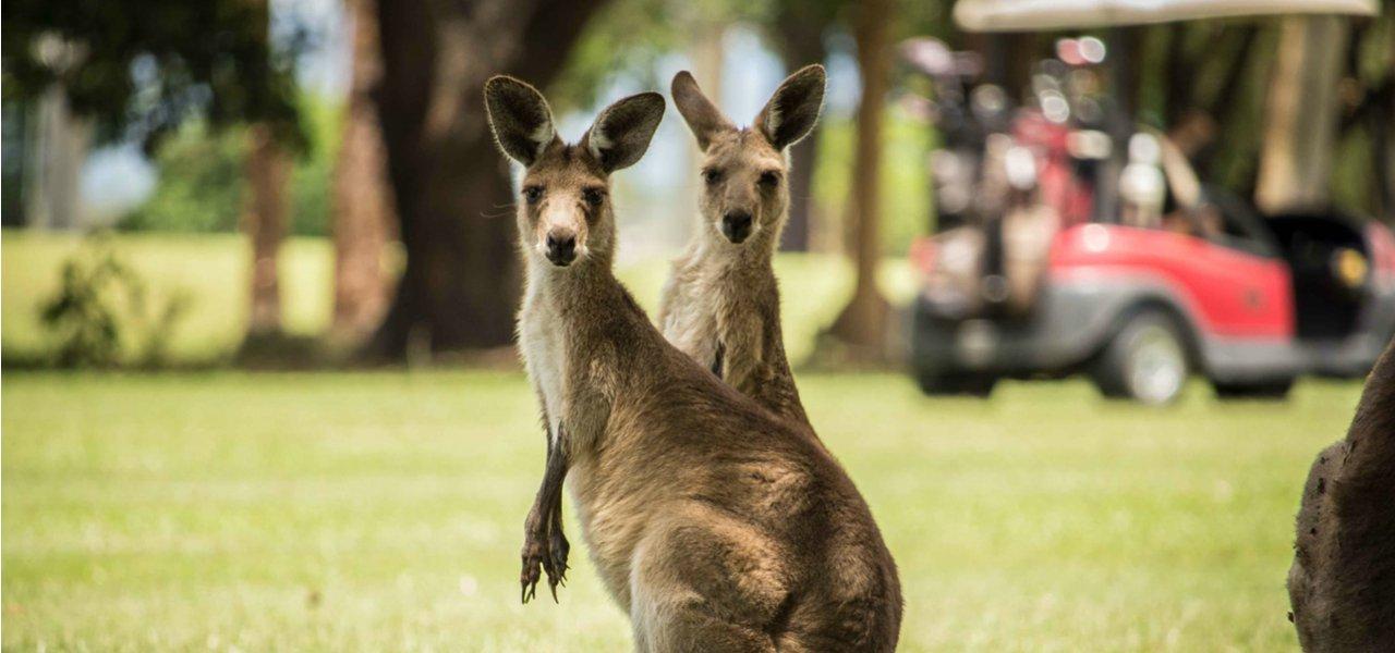 Kangaroos at Australian golf club
