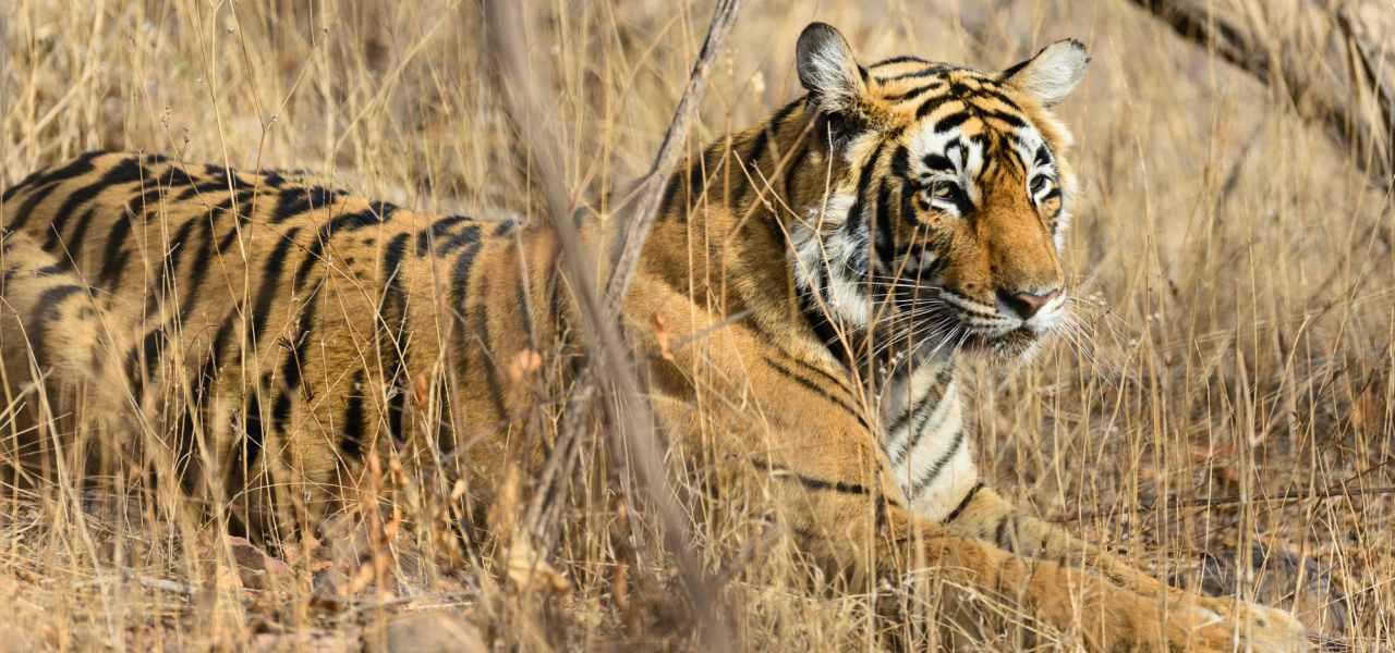 A tiger at Ranthambhore National Park, India